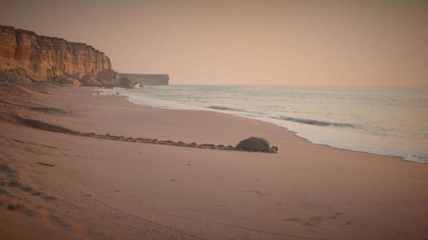 عمان؛ پناهگاه لاک پشتهای در حال انقراض
